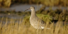 Conserving the curlew