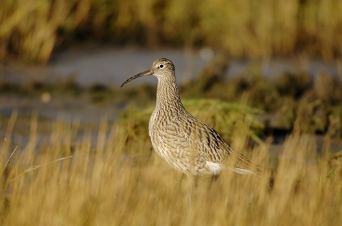 Curlew www.lauriecampbell.com