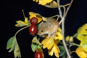 Harvest mouse (www.lauriecampbell.com)