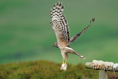 Hen harrier and diversionary food (www.lauriecampbell.com)