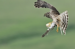 Hen harrier with diversionary food (Credit: Laurie Campbell)