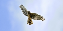 Hen Harriers and the JRS