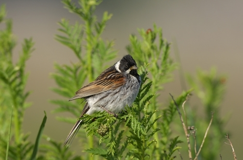 Reed Bunting www.lauriecampbell.com