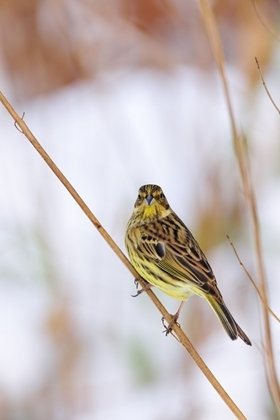 Yellowhammer1 www.lauriecampbell.com