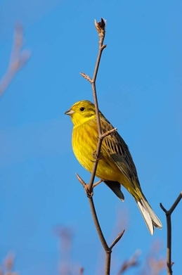 Yellowhammer7 www.lauriecampbell.com