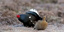 Increasing black grouse range by translocation