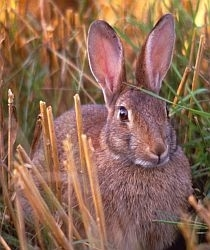 Rabbit photo by A. de la Serre