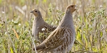 Grey partridge research