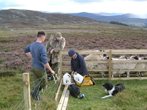 Shepherd and keeper treating sheep against tick