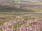 GWCT welcomes the launch of SNH's Moorland Review