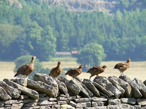 Red grouse on wall