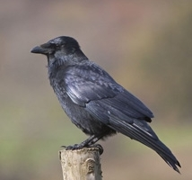 Scottish Crow Control and Vicarious Liability Course - Kirkcaldy image