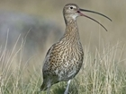 RSPB right to implement predation control to save curlew: Our letter to The Sunday Times