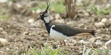 Lapwing and other waders