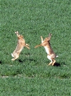 Giving brown hares the common touch
