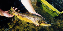 The winter ecology of brown trout