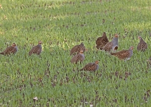 Covey of grey partridges (www.davidmasonimages.com)
