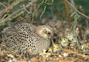 Pheasant with chicks (www.davidmasonimages.com)