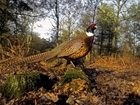 Well-run shoots can make a positive contribution to local habitats and wildlife, says new research on gamebird releasing