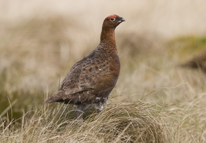 Red grouse (www.davidmasonimages.com)