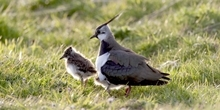 Lapwing Appeal