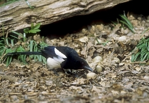 Magpie eating pheasants eggs (Credit: David Mason)