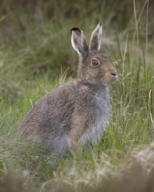 Mountain Hare 2 www.davidmasonimages.com