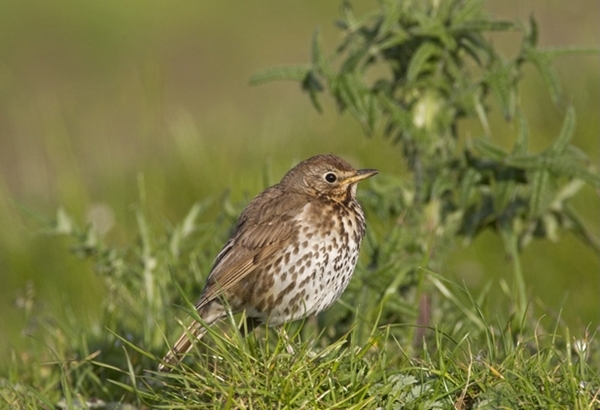Young Song Thrush www.davidmasonimages.com