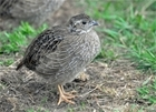 Recovery course for wild grey partridges