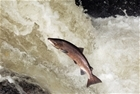 Swings from drought to flood may trigger collapse of Southern UK Atlantic salmon population