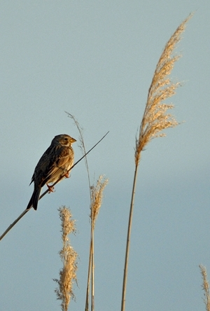 Corn bunting: As the name implies, this bird is very much associated with farmland and has a large beak specifically designed to eat cereals. Like the grey partridge and skylark, it is very much a bird of more open, rolling landscapes where it will be found in the winter in small flocks feeding on weedy stubbles and over-wintering game cover crops or wild bird seed mixes. In late winter it is often found feeding under hoppers put out for partridges. Photo-credit: Peter Thompson.