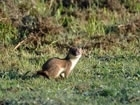 Species of the Month for February - Stoat