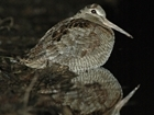 Woodcock brought to light in Gloucestershire