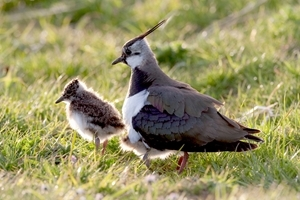 Lapwing and chicks (Credit: David Mason)