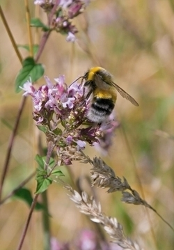 Bumble -Bee -wwwdavidmasonimagescom