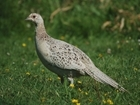 GWCT and Oakbank team up to help wild pheasants