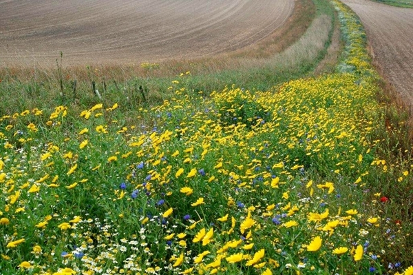 Wild flower field margin