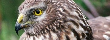 Hen Harrier Joint Recovery Plan