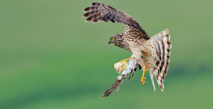 Hen harrier fact sheet