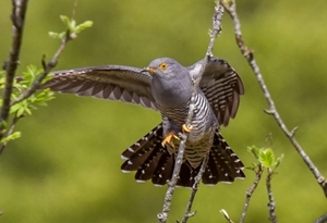 Common cuckoo (Photo credit: Shaun Barrow)