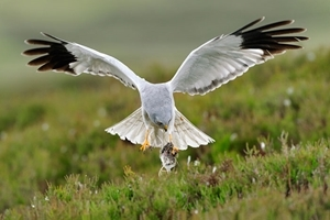 Male hen harrier (www.lauriecampbell.com)
