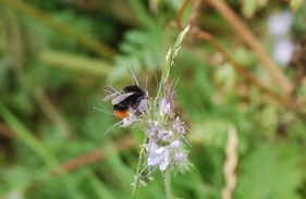 Bumble Bee on Phacelia