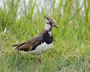 Monitoring of lapwing nests using temperature loggers indicates that in the Avon Valley 61% of nesting attempts fail and that 82% of nest failure is caused by predation, particularly by foxes at night and crows and gulls during the day. Picture credit: Andrew Hoodless, GWCT