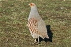 Grey partridge fight back in Wessex