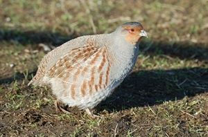 The launch of the Lincolnshire regional partridge group is boosting numbers of this declining bird across the region. Photocredit: Peter Thompson, GWCT