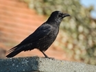 GWCT Scotland launches new online training for humane crow control