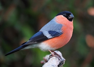 The bullfinch - image © Francis Franklin