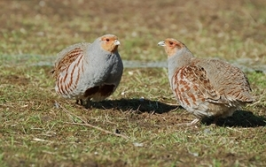 Wild grey partridges (pictured), which were once common across the country have suffered an 86% decline, but monitoring by the Game & Wildlife Conservation Trust shows that a warm summer this year could help to restore numbers in many areas. (Photocredit: Peter Thompson)