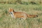 Tracking foxes in the Avon Valley: An update