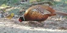 Pheasant Research